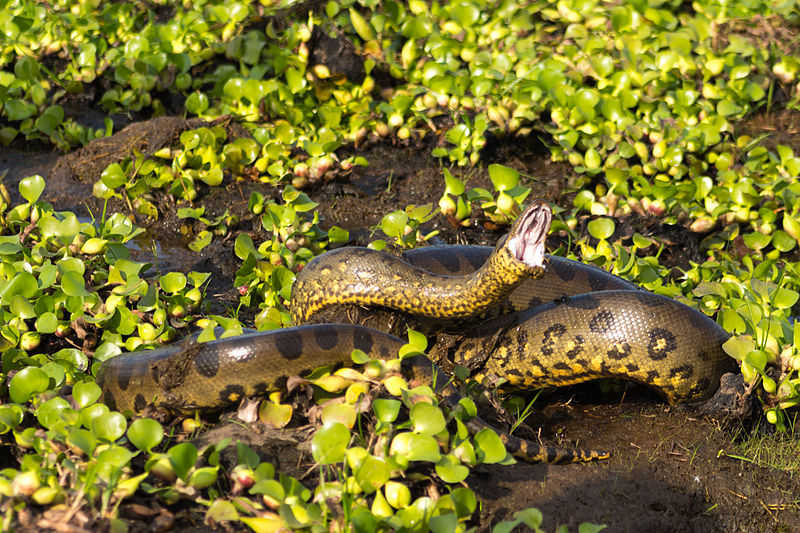 anaconda, fernando flores