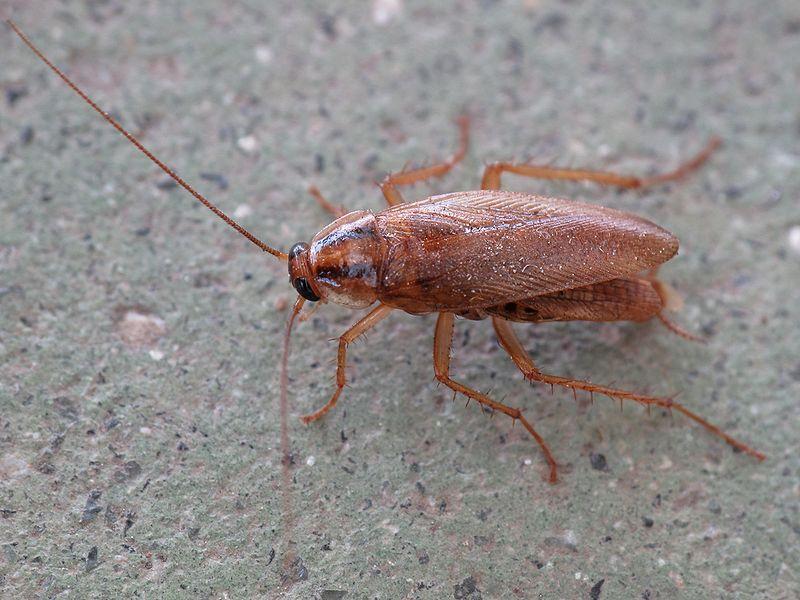 kakkerlak, lmbuga